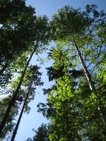 5. Tätä paljon jykevämpääkin puustoa löytyy metsäpolkujen varrelta